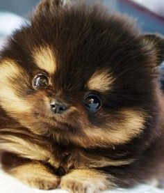 teacup pomeranian - Google Search