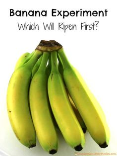 Which banana will ripen first? This banana experiment is super easy for kids to set up and test what will happen. 6th Grade Science Projects, Science Project Board, Science Fair Projects Boards, Fun Projects For Kids, School Projects, Science Experiments For Preschoolers, Science Activities For Kids, Kindergarten Science, Food Science