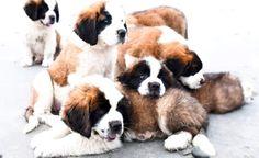St Bernards, St Bernard Puppy, Saints, Puppies, Dogs, Photography, Animals, San Bernard Dog, Cubs