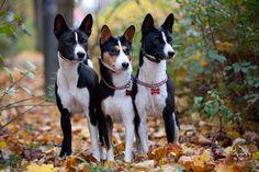 """3-basenji Une race de chien nommée """"basenji"""" possède la particularité de ne pas aboyer, il pousse des cris bien particuliers"""