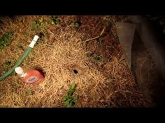 How to Kill Wasp, Yellow Jacket Ground Nest Video - naturally using soap and water - YouTube