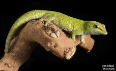 Photograph Phelsuma grandis by Angi Wallace on 500px
