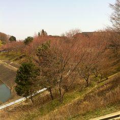 残念ながら、桜咲いとりません(´・_・`)
