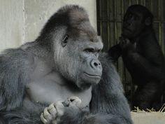 東山動物園の有名ゴリラ
