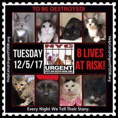 """TO BE DESTROYED 12/05/17 - - Info  Please share View tonight's list here: http://nyccats.urgentpodr.org/tbd-cats-page/. The shelter closes at 8pm. Go to the ACC website( http:/www.nycacc.org/PublicAtRisk.htm) ASAP to adopt a PUBLIC LIST cat (noted with a """"P"""" on their profile) and/or … CLICK HERE FOR ADDITIONAL…Please…Please ...-  Click for info & Current Status: http://nyccats.urgentpodr.org/to-be-destroyed-32017/"""