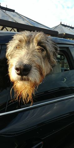 Come on, the park is waiting for me. Dog Photos, Dog Pictures, Animal Pictures, I Like Dogs, Big Dogs, Dog Anatomy, Hound Breeds, Irish Wolfhounds, The Perfect Dog