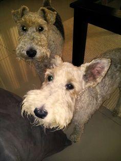 Wire Fox Terrier - Boeta & Miss Pickles