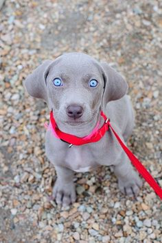 9 wk. old Weimenheimer. Those crazy blue eyes will change as she ages. One of my favorite breeds.