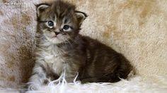 Keno-3W #mainecoon #katzenbaby #kitten