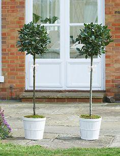 Pair of Wedding Bay Tree Standards | M&S