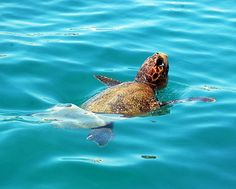 Caretta Caretta - As seen from Speedboat Levante in the Zakynthos National Marine Park, in Laganas Bay.