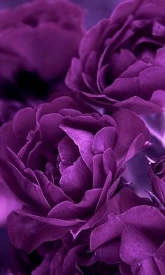 A mystical shade of purple flowers on a beautiful flower can completely change the look and appeal of your home, garden, bouquet, wallpaper and even wedding decoration. tall dark plants purple flowers pictures names Purple Love, All Things Purple, Purple Lilac, Shades Of Purple, Deep Purple, Purple Colors, Purple Stuff, Neon Colors, Light Purple