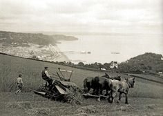 A farm worker operates a horse-drawn reaper-binder during the harvest at Teignmouth, South Devon, UK - 14 August 1931