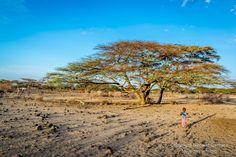 Giant, baeutiful acacia tree,  Olturot, Marsabit, Northern Kenya.