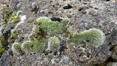 http://www.dry-stone-wall-flora.co.uk/images/bryos/grimmia-pulvinata-new.jpg
