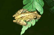 PERERECA-GARGALHADA Scinax rizibilis Instituto Rã-bugio para Conservação da Biodiversidade