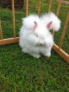 Angora rabbit-Baroness Mellow