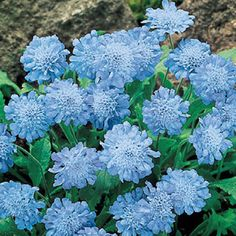 Butterfly Blue Scabiosa ~ This compact perennial blooms from spring through fall, producing blue double-flowering pompons of color. Perfect for the front of the border, rock gardens and patio containers. Light: Full sun to partial shade; Sun Garden, Shade Garden, Garden Plants, Garden Bed, Summer Garden, Flowers Perennials, Planting Flowers, Flowers Garden, Flower Gardening