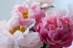 Mi Vida Bonita: PEONIES - is it the ethereal, paper-like quality of the petals that make me swoon?  A ha.