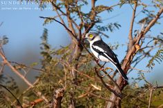 This is the white-crested helmet shrike. They fly and dart in a butterfly like movement between trees. They engage in co-operative breeding. You may notice a flock of them building a nest in the fork of the tree. They have helper birds who take turns to incubate the eggs.   #krugerbirds #birds #birding #shrikes #whitecrestedhelmetshrike #birdlife #birders