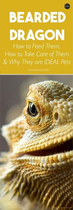 Bearded dragon is not a very common house pet, but they actually make for an IDEAL pet! Read more to find out how to take care of them and what they need.