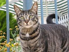 Cat coat genetics is a complex subject - Wikipedia, the free encyclopedia