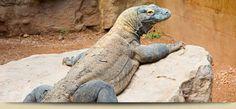 Rapid City, SD   Reptile Gardens    Komodo Dragon