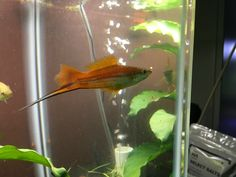 Swordtail Fish for Sale Online Live Aquarium Fish, Home Aquarium, Swordtail Fish, Beautiful Tropical Fish, Fish Home, Selective Breeding, Fish For Sale, Colorful Fish, Albino