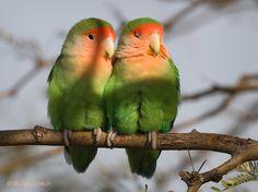 Peach-faced Love Birds, arid regions of SW Africa
