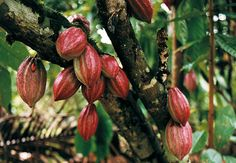 If Africa produces 75% of the world's cocoa then surely this great continent should be flowing with the riches, with somewhere around 75% of the revenue of the chocolate industry