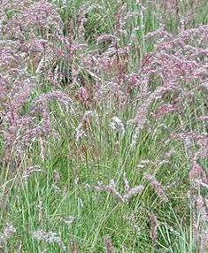 Melinis nerviglumis African English, Grass Type, Water Wise, Ornamental Grasses, Shrubs, Garden Design, Home And Garden, Leaves, Landscape