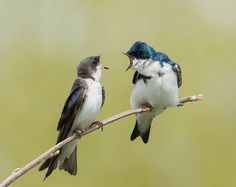Tree swallow - Hirondelle bicolore by François St-Onge            Male and female in conversation!            François St-Onge: Photos                                 #animals #photography