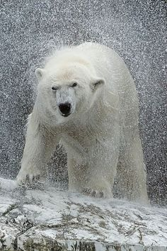 Shake it - Polar Bear