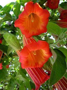 View picture of Brugmansia Species, Angel Trumpet, Angel's Trumpet (Brugmansia sanguinea) at Dave's Garden. All pictures are contributed by our community. Unusual Flowers, All Flowers, Amazing Flowers, Beautiful Flowers, Angel Trumpet Plant, Trumpet Lily, Trumpets, Flower Images, Tropical Garden
