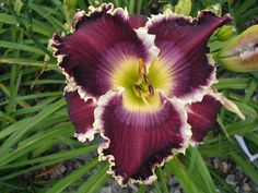 Daylily (Hemerocallis 'Teeth of Iron') in the Daylilies Database (All Things Plants)