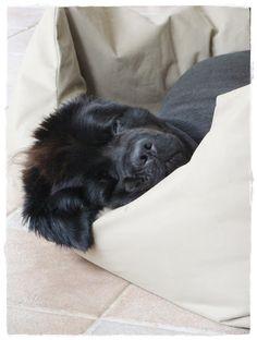 my newfoundlanddog Willow