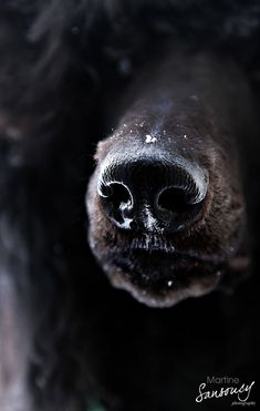 Portrait of a poodle nose. My standard poodle puppy Robert, photography by Martine Sansoucy #standardpoodle #poodle #dog #dogphotography