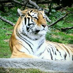 Gorgeous Tiger at the Detroit Zoo
