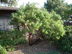 Manzanita tree ... Plant photo of: Arctostaphylos manzanita 'Dr. Hurd'