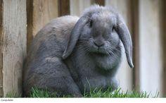 Conejo Belier.