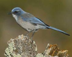 Western Scrub-Jay | National Audubon Society Birds - Mission Viejo and Silverado California