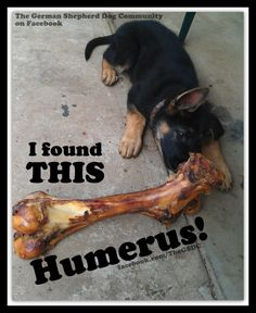 Black German Shepherd Mix with Other Dog Breeds Black German Shepherd Puppies, German Shepherd Pictures, German Shepherds, Funny Dog Memes, Funny Dogs, Funny Animals, Purebred Dogs, Schaefer, Pet Tags