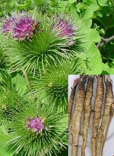 Arctium lappa - Burdock. Useful as dynamic accumulator for fruit trees. Also used in Chinese medicine.