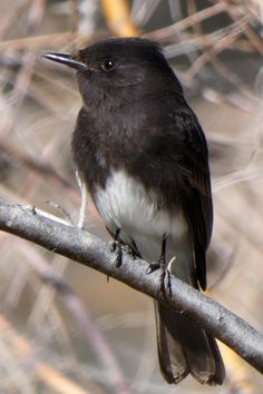 A black phoebe (Sayornis nigricans) in the Rio Grande Bosque, Albuquerque, New Mexico. It's common to see black phoebes watching for insects flying just above flowing water, including in the local irrigation drains. Photo taken on March 5, 2021. Rio Grande, Irrigation, New Mexico, Insects, March, Urban, Water, Black, Gripe Water