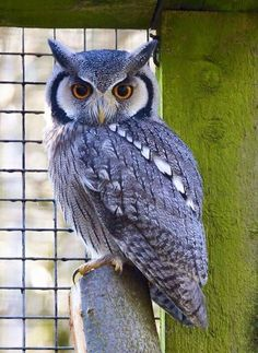 Image viaAn owl knows all the secrets of the forest, but tells them in a voice we cannot understand.Image viaBaby Owl Pictures: Photos of Cute Animals, Young OwlsImage Beautiful Owl, Animals Beautiful, Cute Animals, Baby Animals, Owl Photos, Owl Pictures, Wise Owl, Owl Bird, Tier Fotos