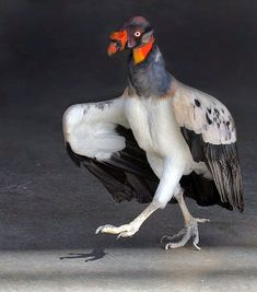 http://noviviendoenmundovivo.blogspot.cl/search?updated-max=2015-05-22T23:46:00%2B02:00&max-results=7&start=4&by-date=false  king vulture