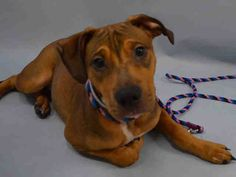 SAFE 12-28-2015 by The Animal Haven Inc. --- Manhattan Center ROYALE – A1060768  MALE, BROWN / BLACK, PIT BULL MIX, 8 mos STRAY – STRAY WAIT, NO HOLD Reason STRAY Intake condition EXAM REQ Intake Date 12/17/2015