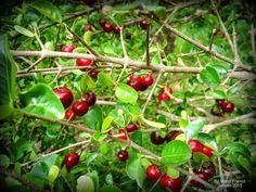 ACEROLA - ( Malpighia glabra ) - Meu Cantinho Verde