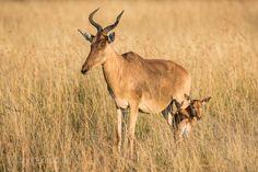 Kongoni with Baby. | Masai Mara. | Kenya. |  More pics www.shop.ingogerlach.de