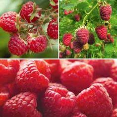 Raspberry 'Full Season Collection'